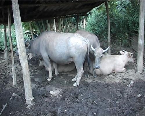 Ô nhiễm môi trường ở miền núi do gia súc